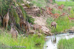 Kudu and Impala on a River Bank, Kruger National Park, South Africa. (2015)