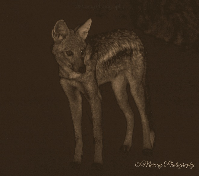 The Side-Striped Jackal (Canis adustus)