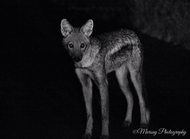 Eye Contact with a Side-Striped Jackal (Canis adustus)